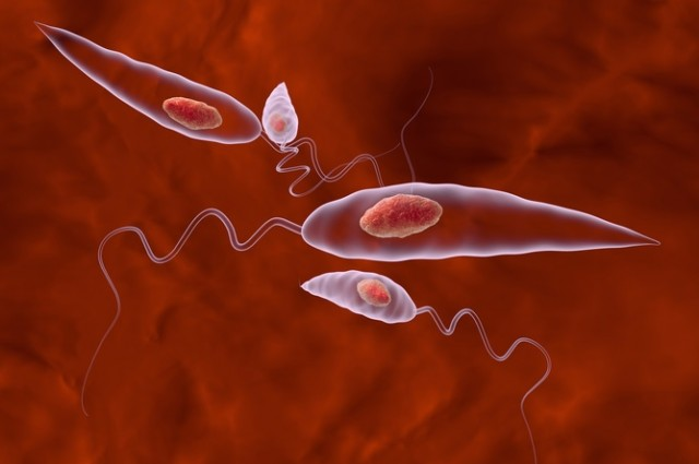 photo credit: The Leishmania parasite. Shutterstock